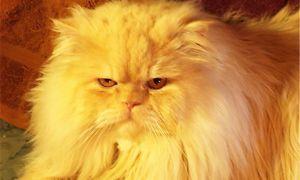 Фото персидской кошки