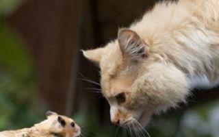 Голодная кошка и хомяк Роло