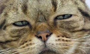 Как кот породы мейн кун буянил