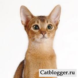 Все об абиссинской кошке