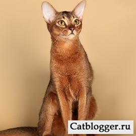 статья о сингапурской кошке