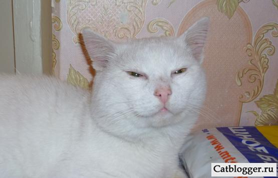 belyj-kot-1