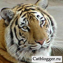 dikie-koshki-amurskij-tigr-chast-1