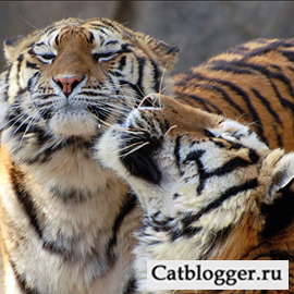 dikie-koshki-amurskij-tigr-chast-2