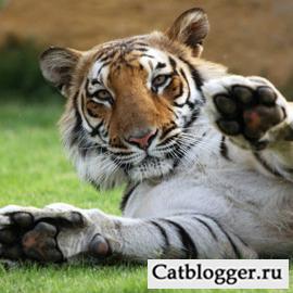 dikie-koshki-bengalskij-tigr-chast-1