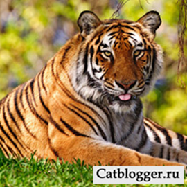 dikie-koshki-bengalskij-tigr-chast-2