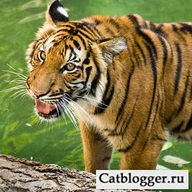 Картинка дикой кошки - Индокитайского тигра