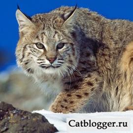 Рыси красивые дикие кошки