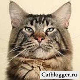 А мейн кун кот Василий оказывается алкоголик?