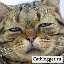 выходки пьяного кота породы мейн кун
