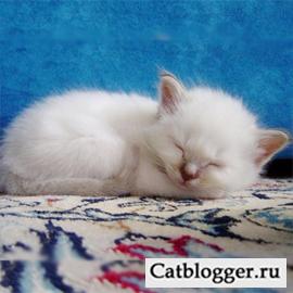 Кому бкдет подарить котенка Путин?