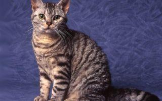 Самые редкие кошки в нашем мире