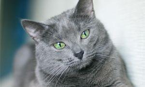 Фото русской голубой кошки