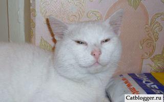 Белый кот по имени Тимон