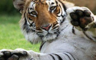 Дикие кошки: Бенгальский тигр. Часть 1