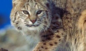 Дикие кошки: Рысь