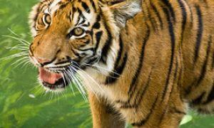 Дикие кошки: Индокитайский тигр