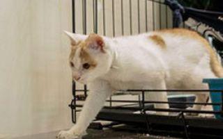 Счастливый тайский котенок Ни Хао