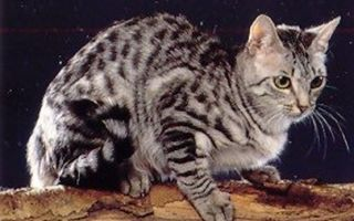 Самые редкие породы кошек в мире. Часть 2