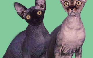 Сфинксы довольно интересные виды кошек